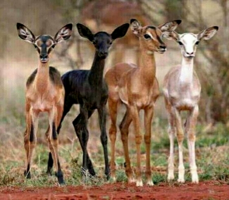 Piedaldism - Deer, Young, Piedaldism, Brown, Black, White, rare