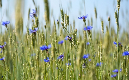 Cornflowers - summer, cornflowers, nature, blue