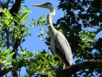 Heron on Tree