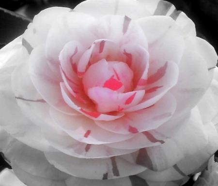 Alabama State Flower Flowers Nature Background Wallpapers On Desktop Nexus Image 2490891