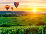 Hot air balloons over vineyard
