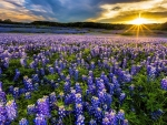 Bluebonnet Field at Muleshoe Bend Recreation Area, Austin-