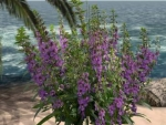 Angelonia Angel Face Summer Dragons