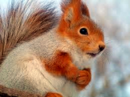Red Squirrel - Animal, Red, Eyes, Squirrels