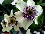 White Clematis