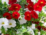 Red And White Million Bell Petunias
