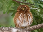 Red Pygmy Owl