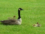 Geese on the Grass