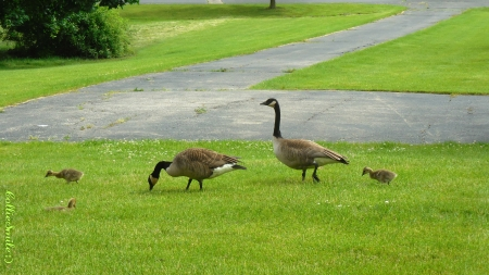 Geese Family Walking - geese, family, Canada Goose, green, grass, goose, goslings, Canadian Goose