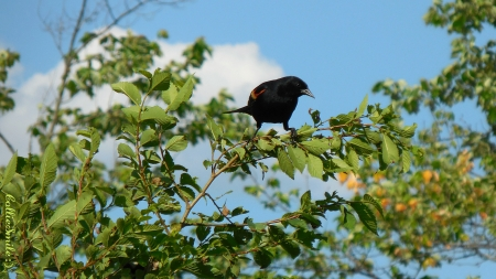 Inquisitive Red Winged Blackbird - branches, blackbirds, b1ackbird, fow1, red winged blackbird, blue sky, clouds