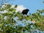Inquisitive Red Winged Blackbird