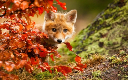 So cute - Cute, Baby, Fox, Autumn