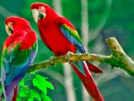 Rainbow Colored Macaws
