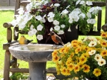 Petunias And A Robin