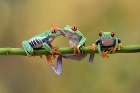 Frogs - broasca, green, trio, frog, orange, amphibian