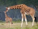 Giraffe and her New Born