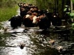 Farm Dogs Leading Cattle
