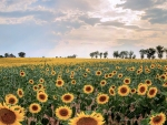 Sunflowers in Provence, France