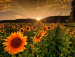 Rising sun and sunflowers