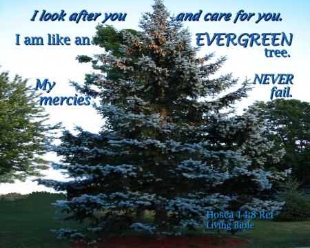 God's Mercies Never Fail - forest, Bible, trees, spruce, evergreen