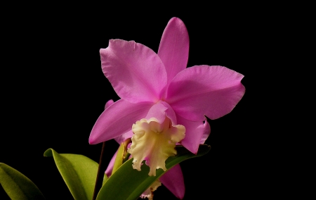 Orchid - pretty, flower, nature, petal