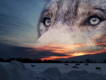 Sky Wolf - rocks, wolf and sunset, desert, skywolf, sky, loup, nice, wolf, wolves, eyes
