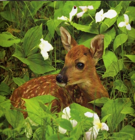 Bambi - Deer & Animals Background Wallpapers on Desktop ... - photo#47