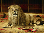 Circus Trainer Death By Lion