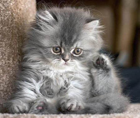 Persian Baby - kittens, animals, photography, cats