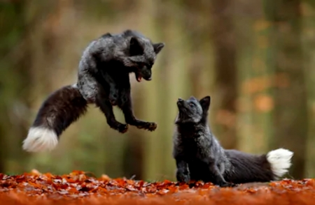 Black Silver Fox Playing In Autumn Leaves Other Animals