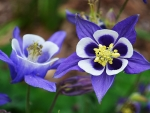 Beautiful columbines