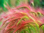 Fox Tail Barley Ornamental Grass