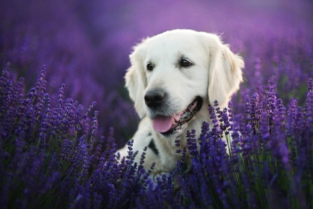 Labrador Retriever in Lavender Field - Fields, Dogs, Nature, Lavender, Flowers, Animals