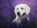 Labrador Retriever in Lavender Field