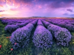 Lavender Field in Bulgaria