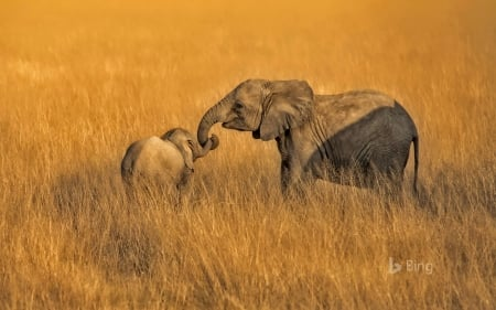 Here, let's go this way ... - trunk, assistance, sweet, elephants, Africa, grass, tail, yellow, Bing, cute, Amboseli National Park, siblings, Kenya, animals