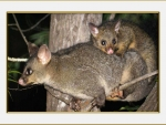 BRUSH TAIL POSSUM'S