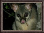 COMMON BRUSH TAILED POSSUM