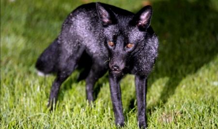 Rare Black Fox Other Animals Background Wallpapers On Desktop Nexus Image 2504520
