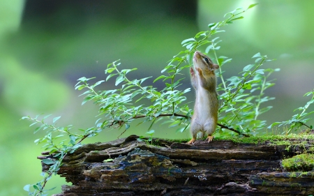 Curious Chipmunk - leaves, nature, branch, plant
