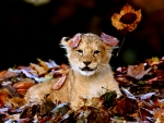 Autumn Lion Cub
