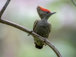 Short-tailed woodpecker