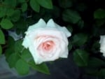 Rare Beautiful Creamy Pink Rose