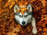 Autumn Part Wolf Playing Leaves