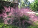 Pink Muhly Ornamental Grass