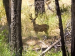 A buck in the shade