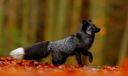 Black Silver Fox Other Animals Background Wallpapers On Desktop Nexus Image 2505402