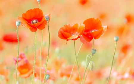 Colorful and delicate but vibrant nature - garden, summer, vibrant, awesome, nature, field, colorful, red, poppies, beautiful, nice, photography, green, splendor, pink, beije, photo, amazing, colors, spring, silhouette, delicate, cool, pastel