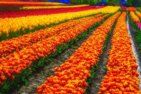 Tulip Bulb Farm - attractions in dreams, nature, fields, tulips, lovely still life, love four seasons, photography, flowers, summer