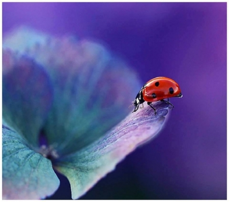 cute red ladybug - red, cute, ladybug, animals